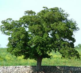 lecci alberi