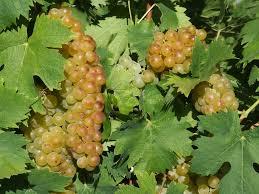 festa uva moscato a Terracina. Anxur Time