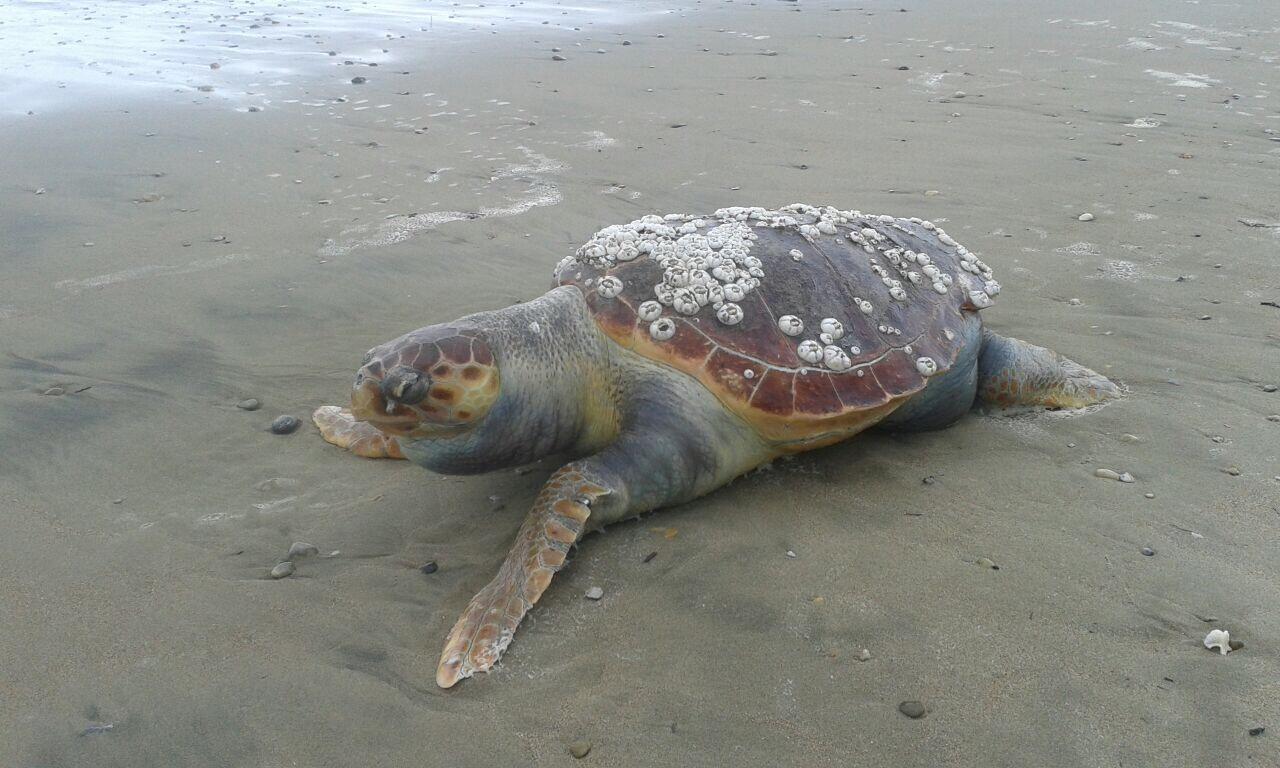 tartaruga caretta caretta. anxur time